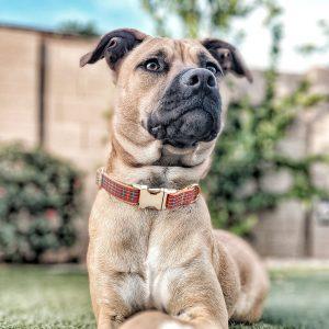 Collier pour chien Scotland - Doggy & Co